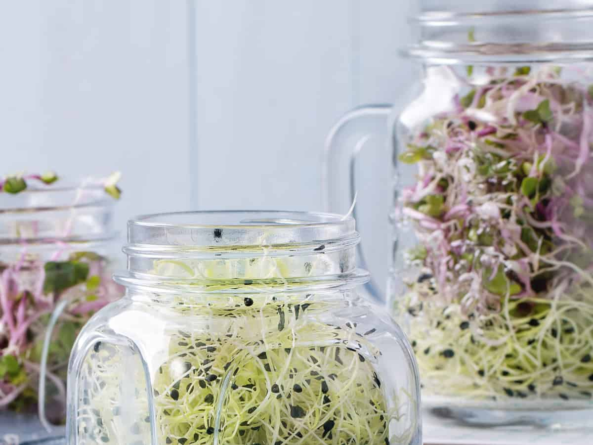 sprouts grow easily in jars