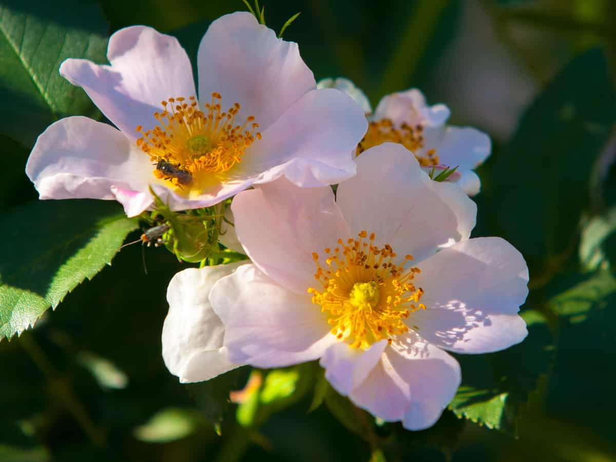 the sweetbrier rosebush produces delicious rose hips for tea