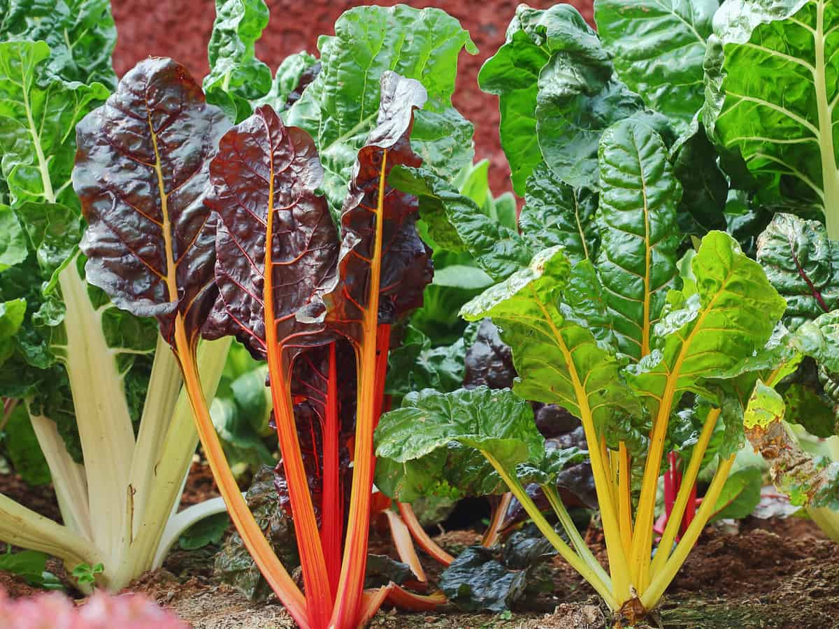 Swiss chard needs full sun to grow indoors or out