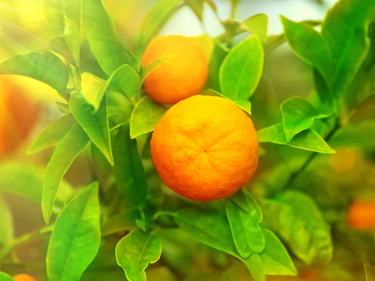 the tangerine tree is best suited for gardens in hot climates