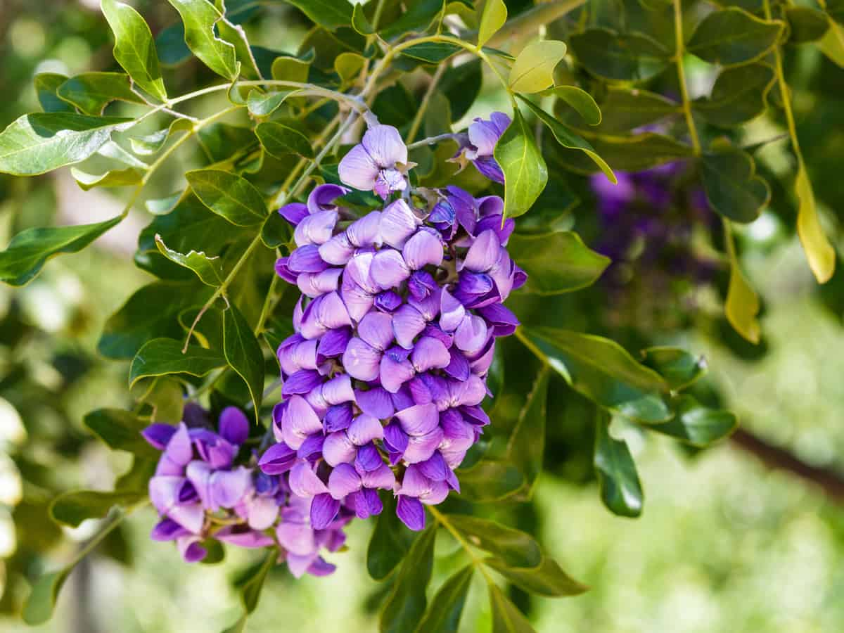 the Texas mountain laurel loves the heat and has beautiful purple blooms