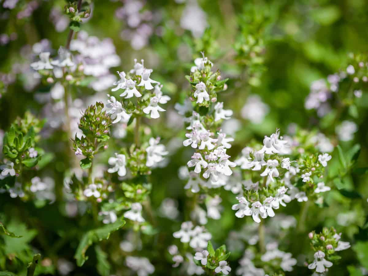 thyme is a perennial that thrives on neglect