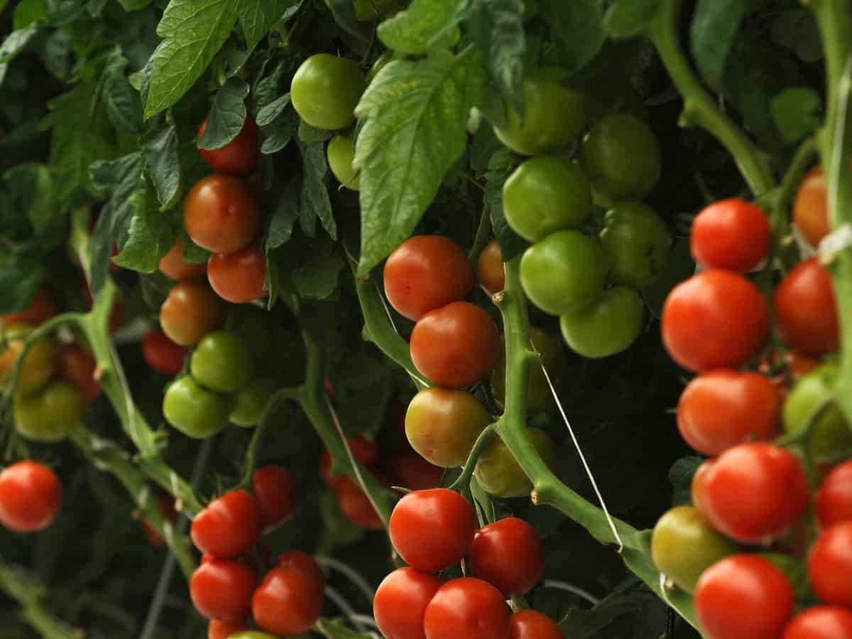 the tomato is an easy vegetable to grow indoors