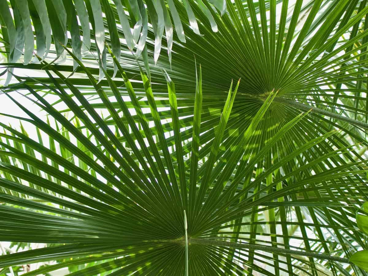 triangle palm loves the heat