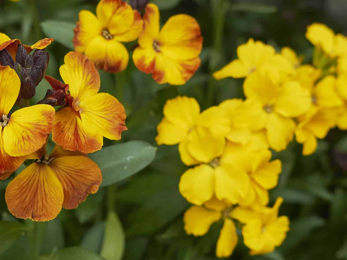 wallflowers are short-lived perennials that need little water
