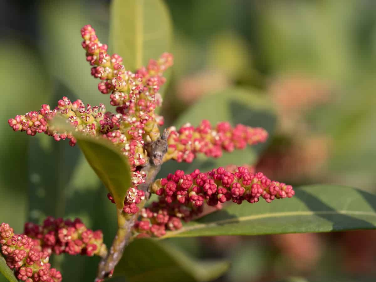 wax myrtle is an aromatic hedge plant