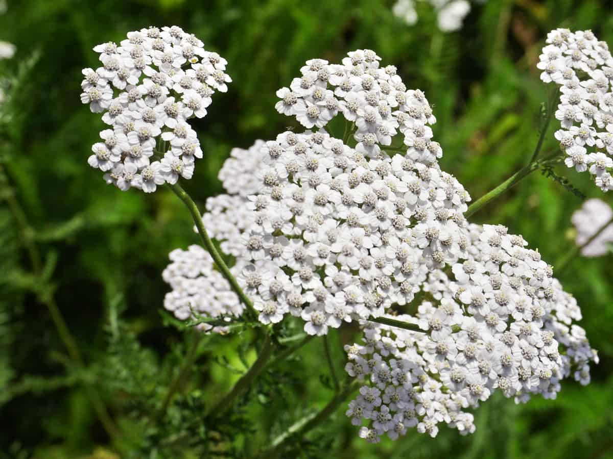 yarrow prefers hot, dry conditions