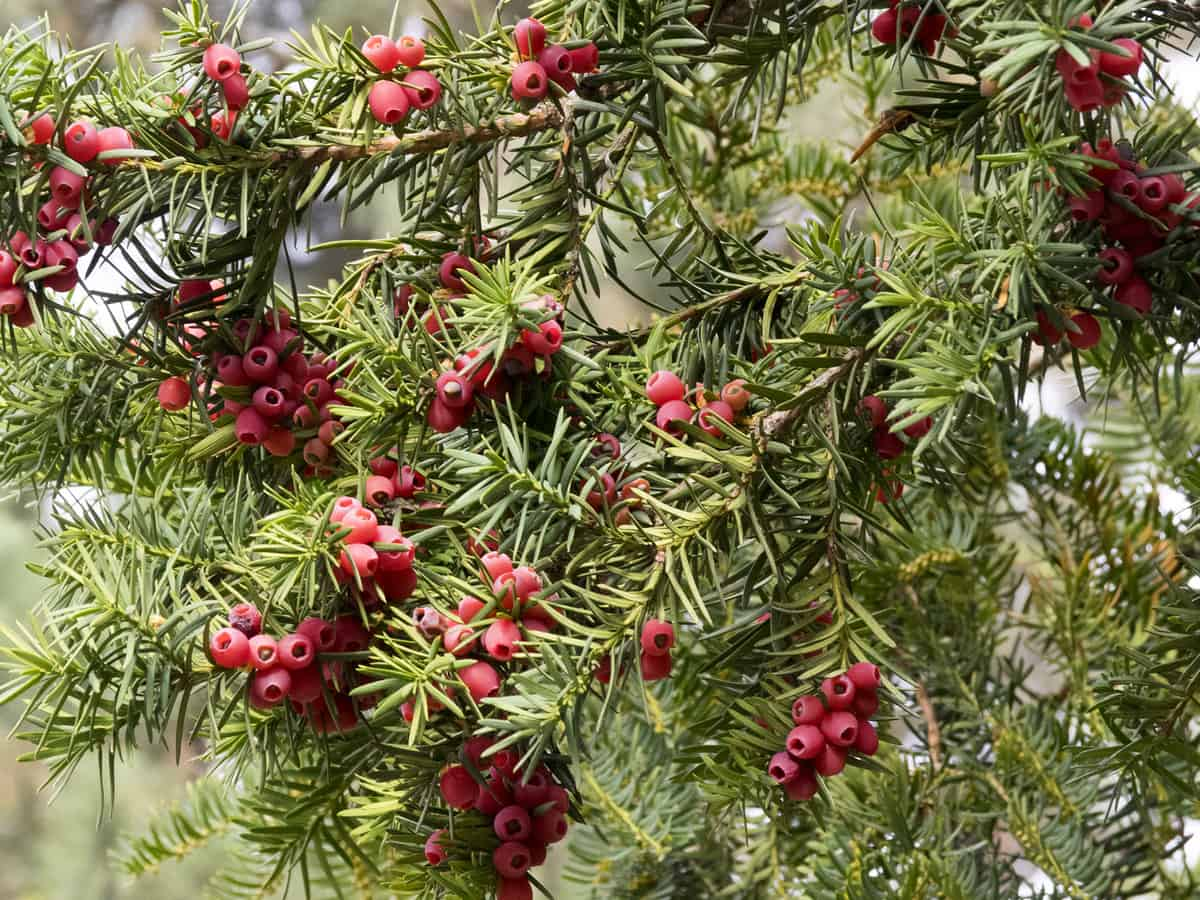 the yew provides an evergreen border to the shade in your yard