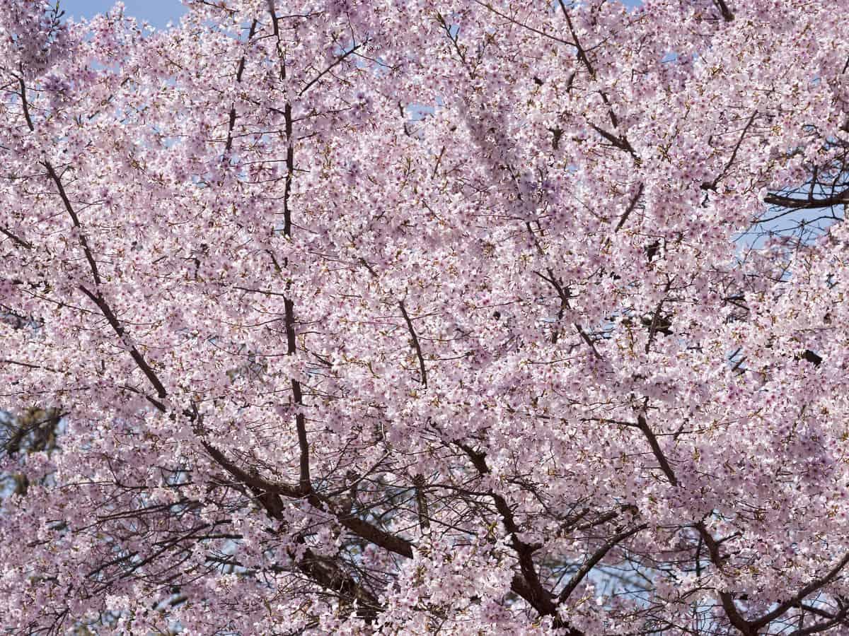 the Yoshino cherry tree has flowers that provide a big impact wherever you plant it