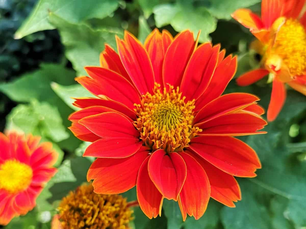 African daisies have exotic flower petals