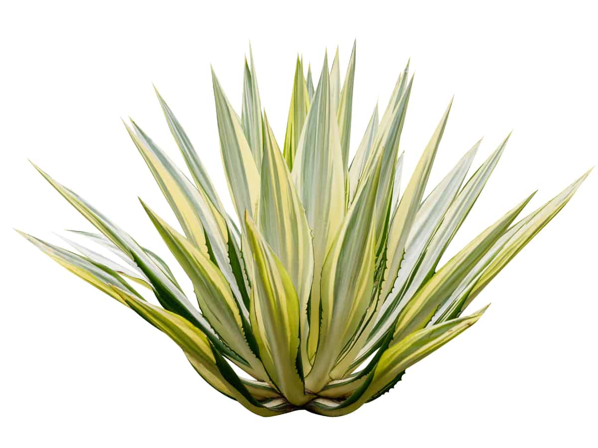 agave is an easy to grow shrub