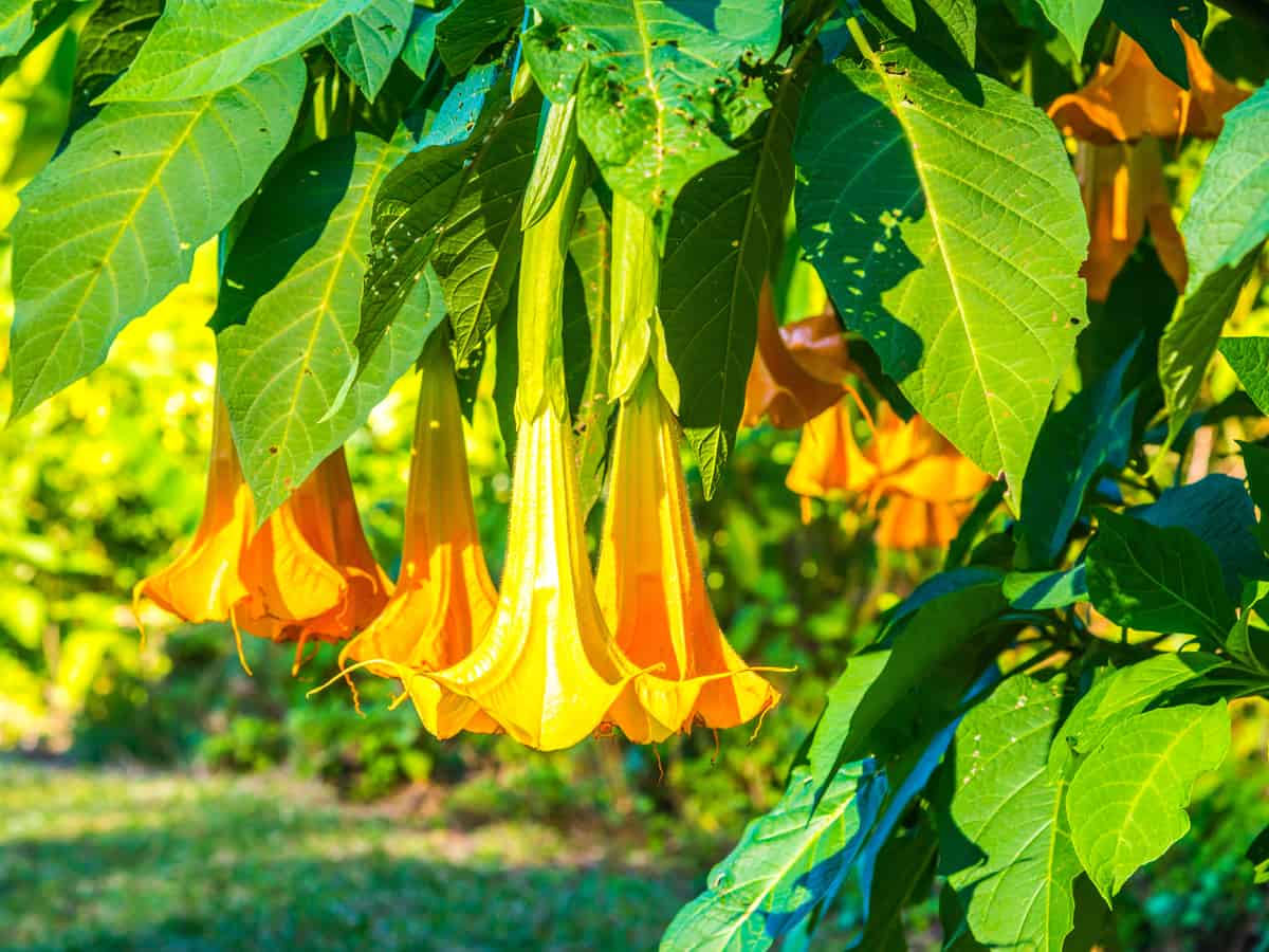 angel's trumpets are flowers that need a lot of water