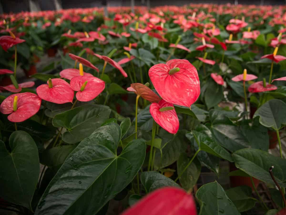 the flowers and leaves of the anthurium are heart-shaped