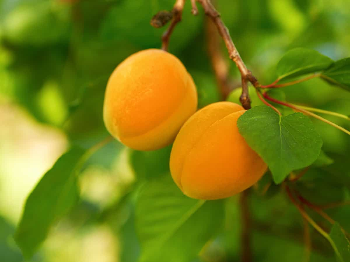 apricot trees require little pruning