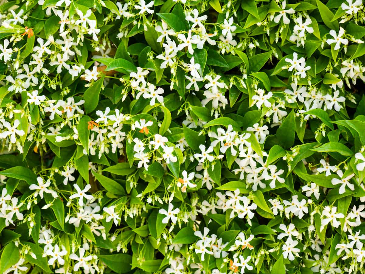 Asian jasmine is a flowering plant for the garden