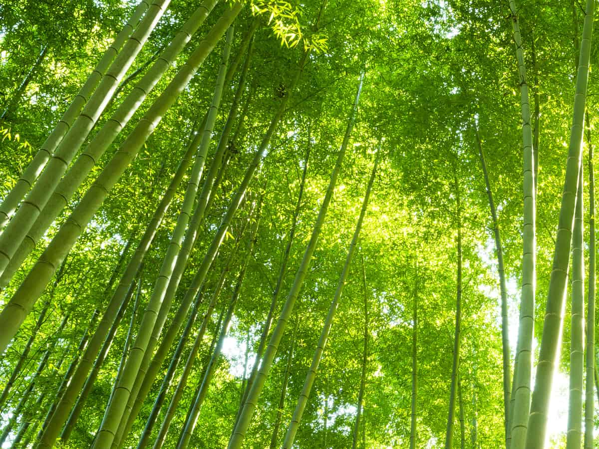 the bamboo plant is eco-friendly although sometimes invasive