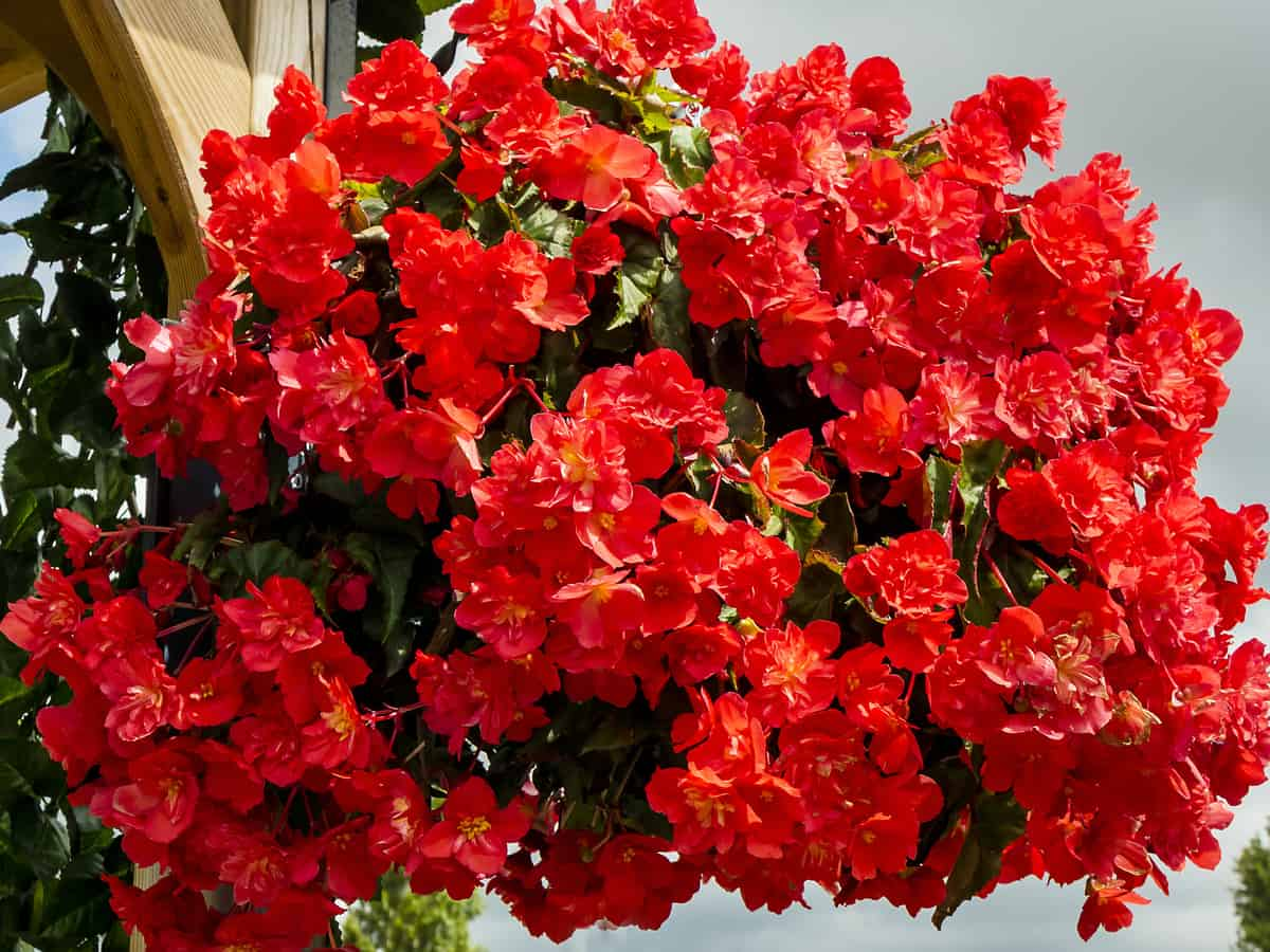 the begonia is a popular hanging flower