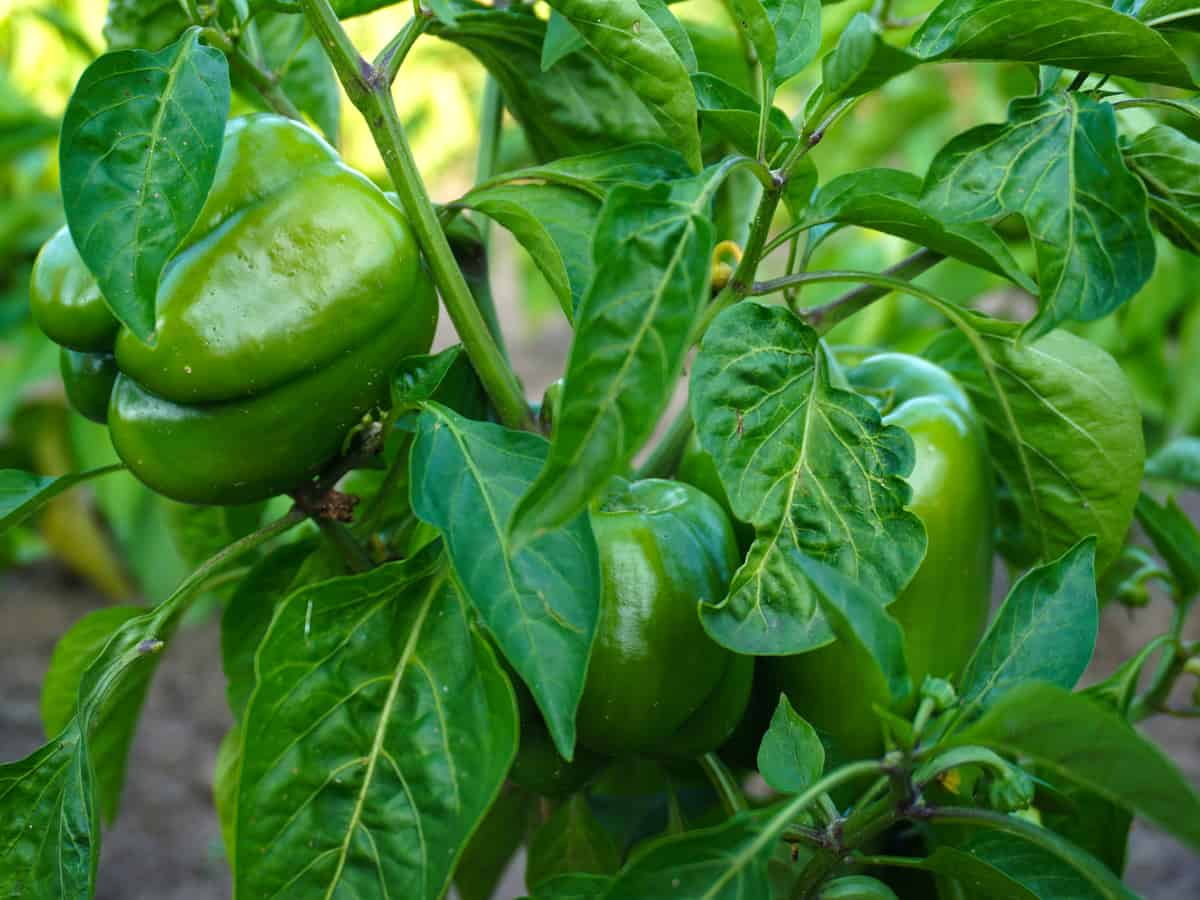 bell peppers are members of the nightshade family