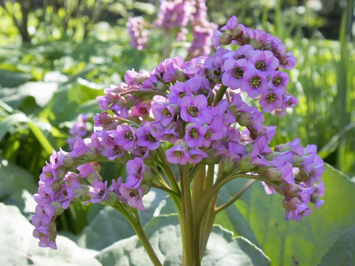 bergenia is a shrub that is easy to grow in a pot