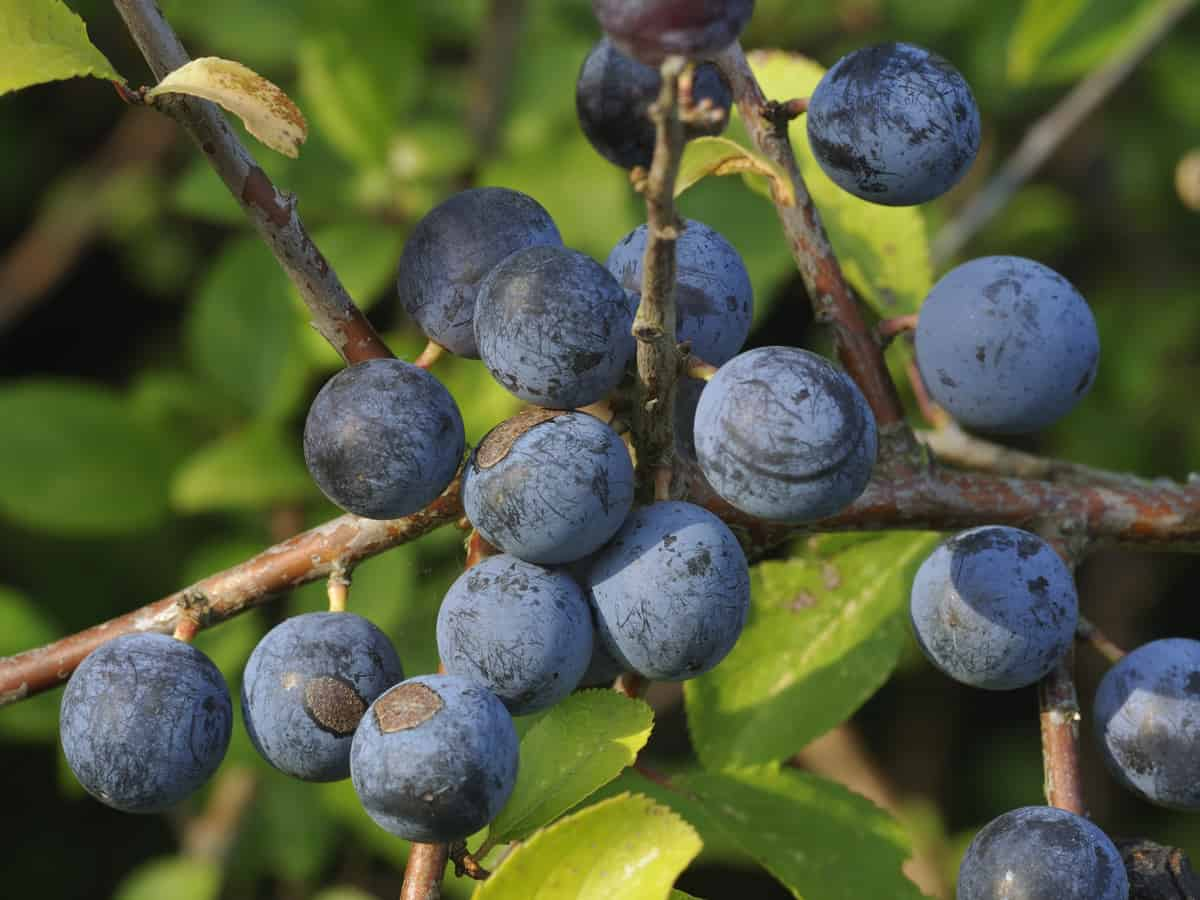 the blackthorn is highly adaptable to varying growing conditions