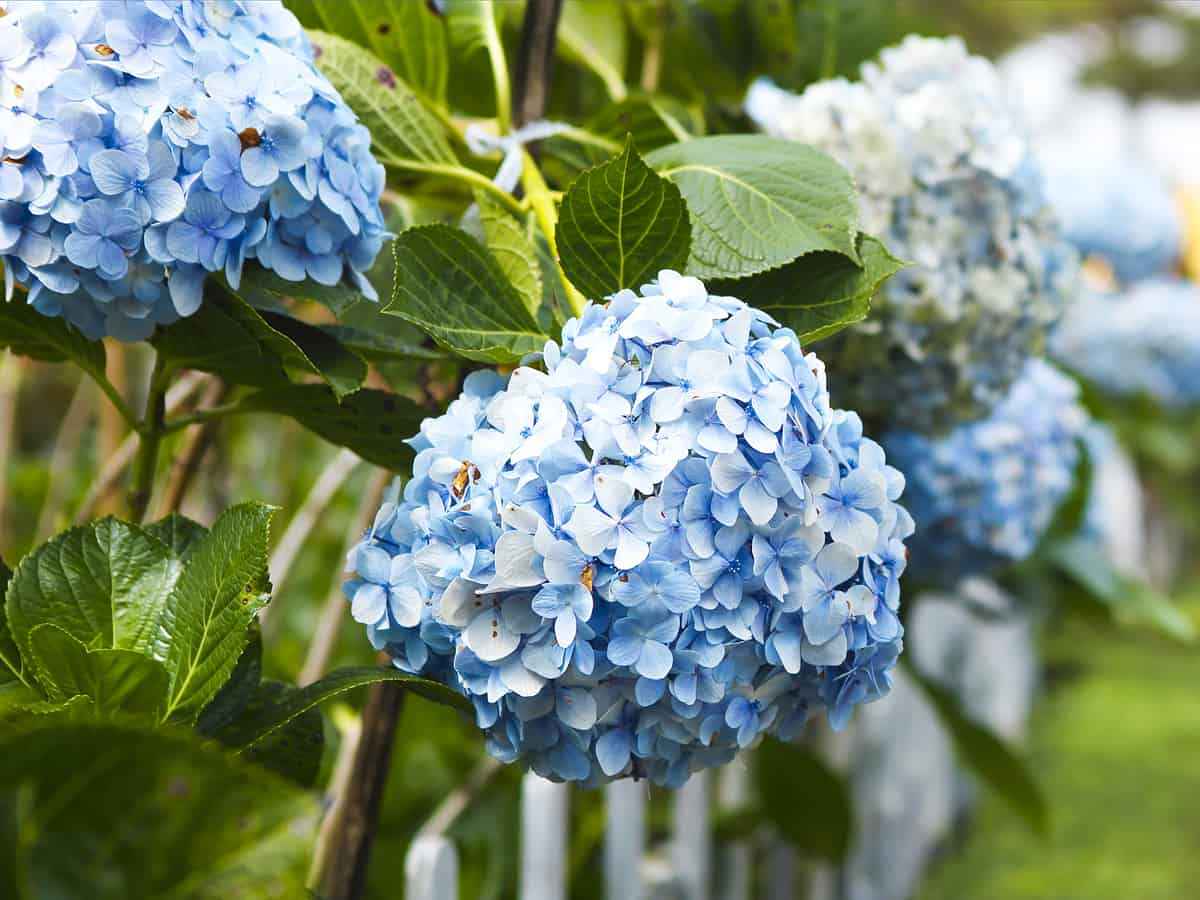 the blue hydrangea is one of the fastest growing of its species
