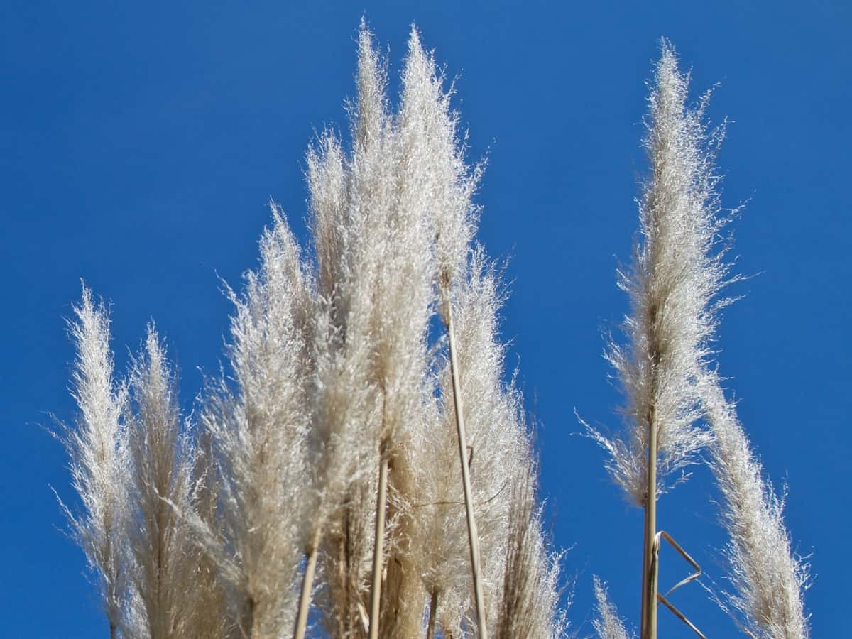 blue oat grass is a beautiful perennial grass