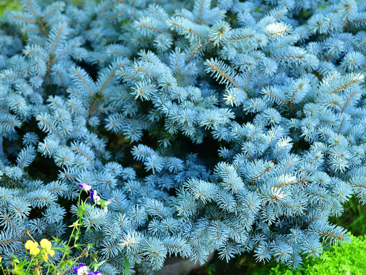 dwarf globe blue spruce adds style to any garden setting