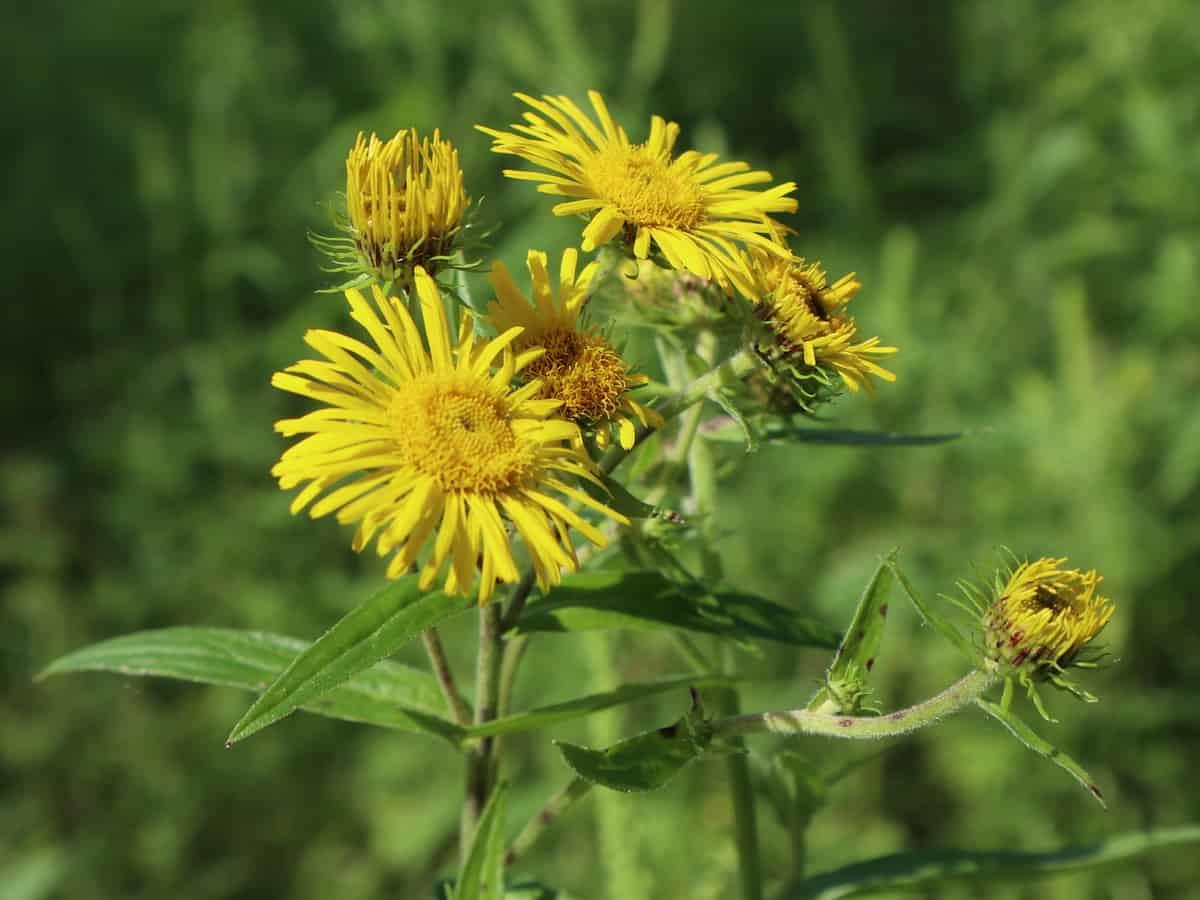 British yellowhead or meadow fleabane is very invasive