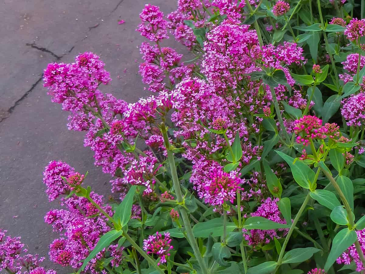the dwarf variety of the butterfly bush works well in a container