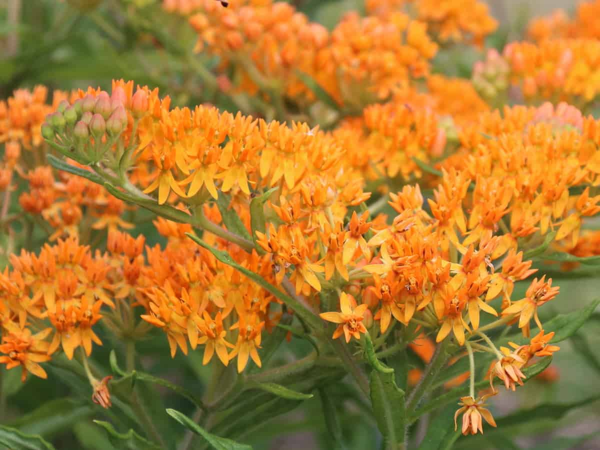 butterfly weed attracts many beneficial pollinators