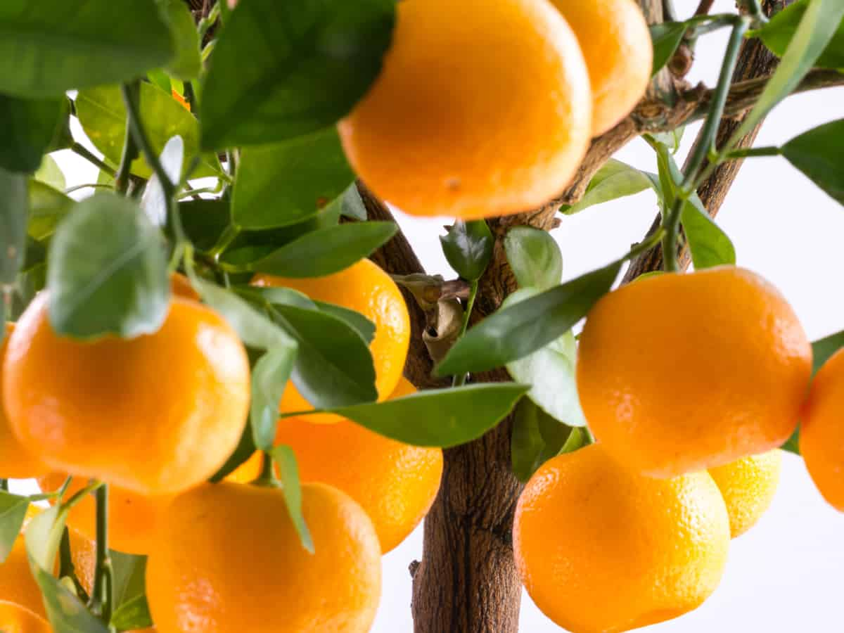 the calamondin orange can give you fruit and flowers all year