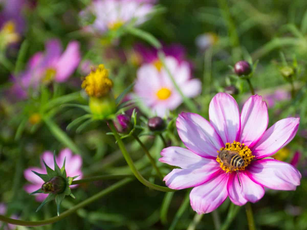calliopsis is also called tickseed