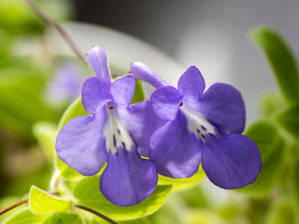 cape primrose can provide year-round blooms indoors