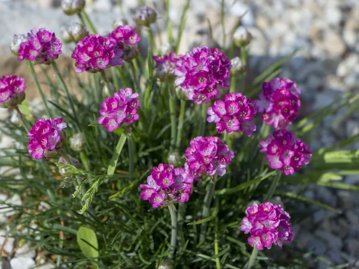 carnations are perennials that come in a variety of colors