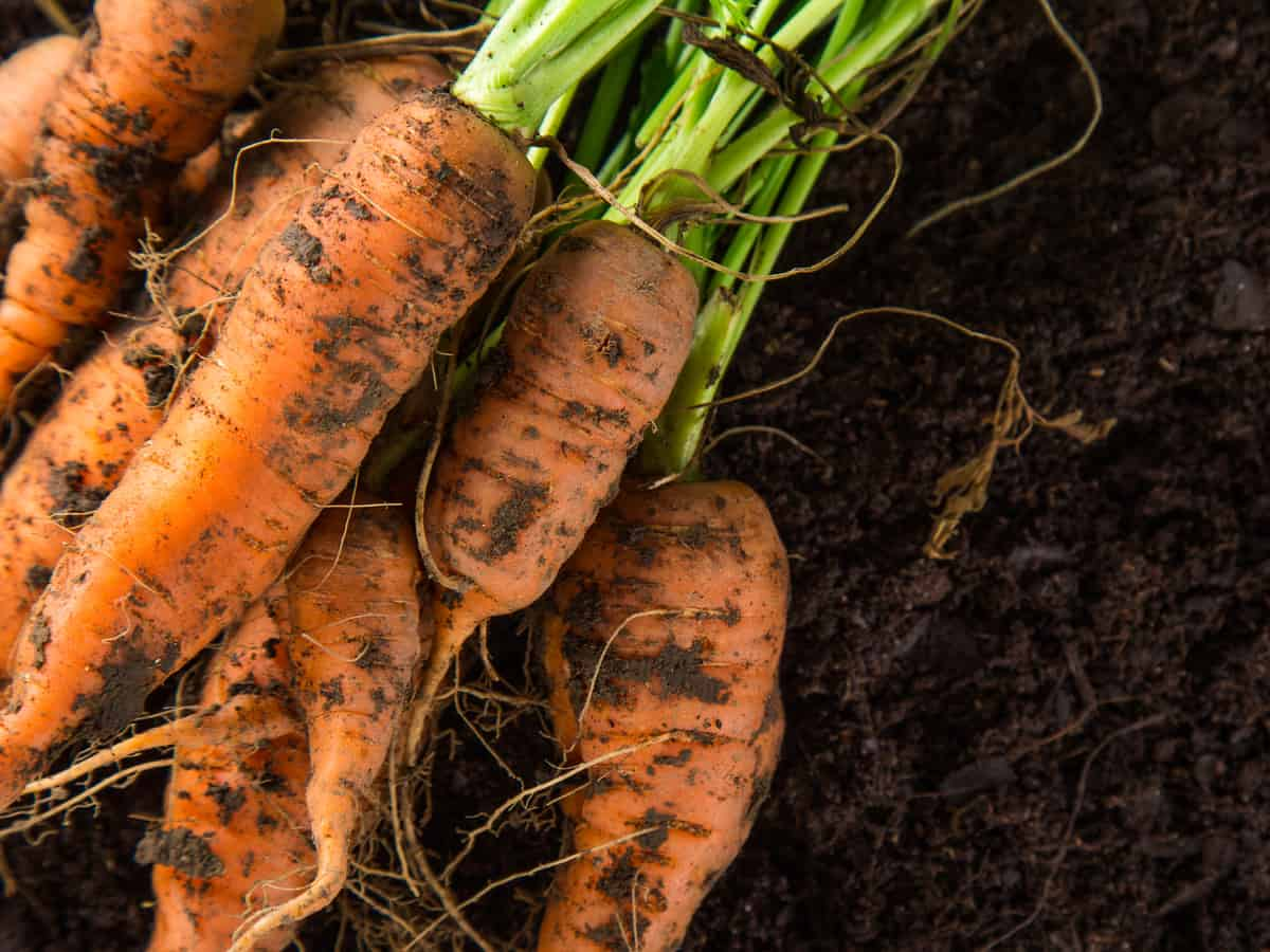 carrots are easy to grow at home