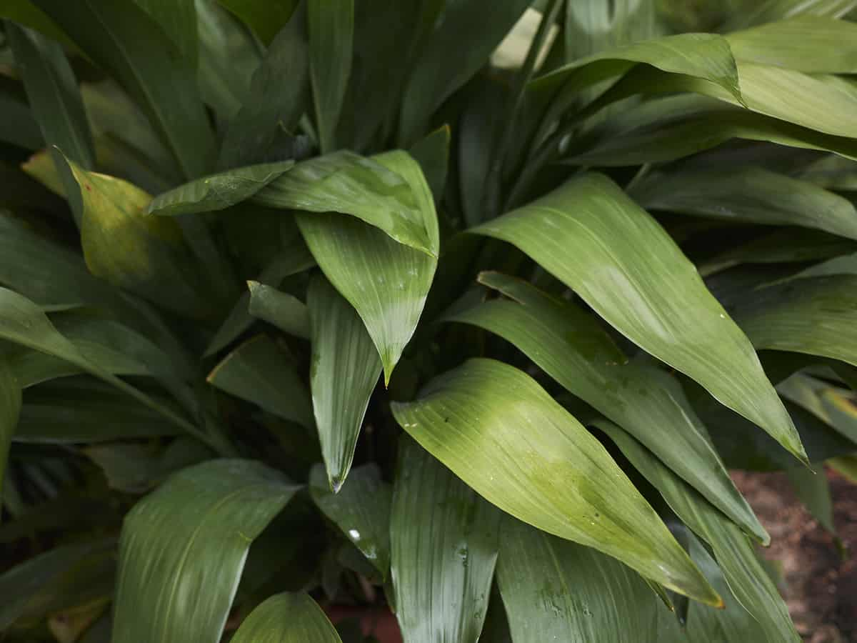 the cast iron plant is low maintenance and hard to kill