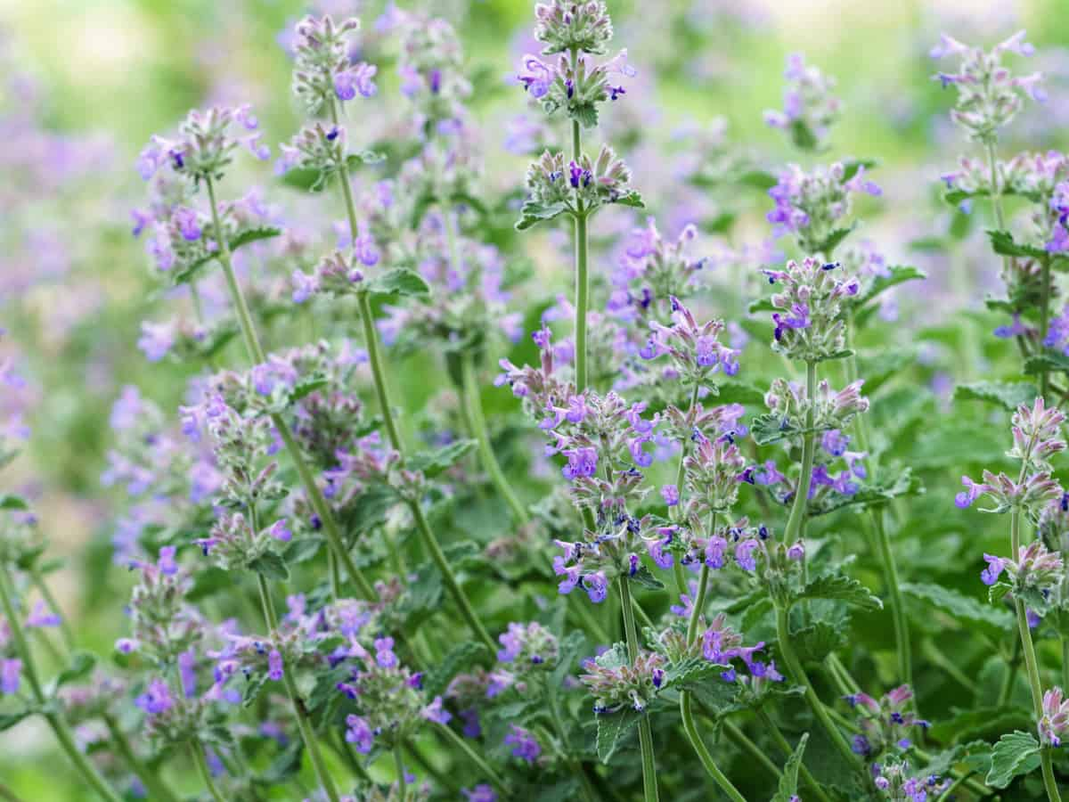 plant catnip in the yard where it's ok for cats to go