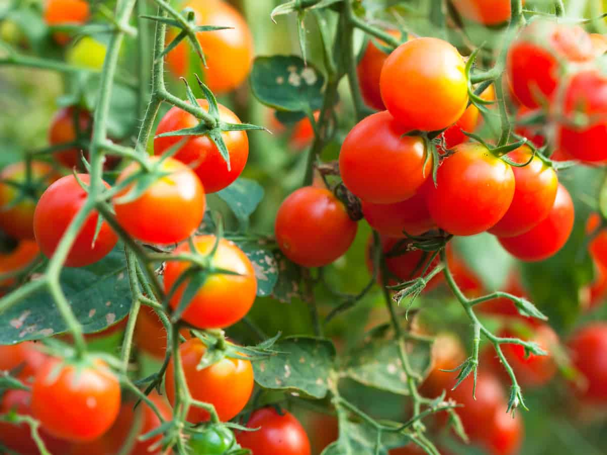 cherry tomatoes are easy to grow indoors and out