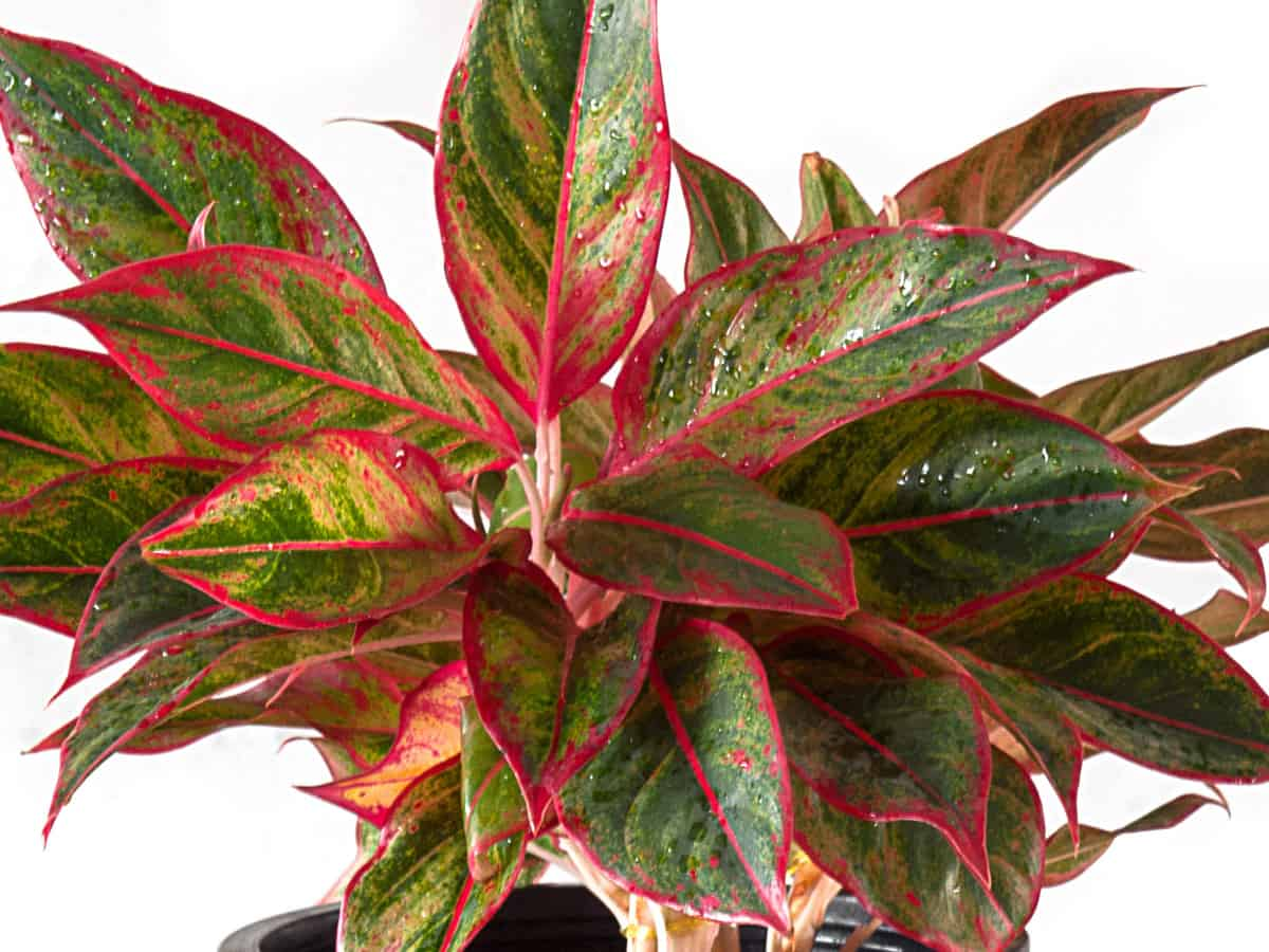 the Chinese evergreen is similar to the Calla lily