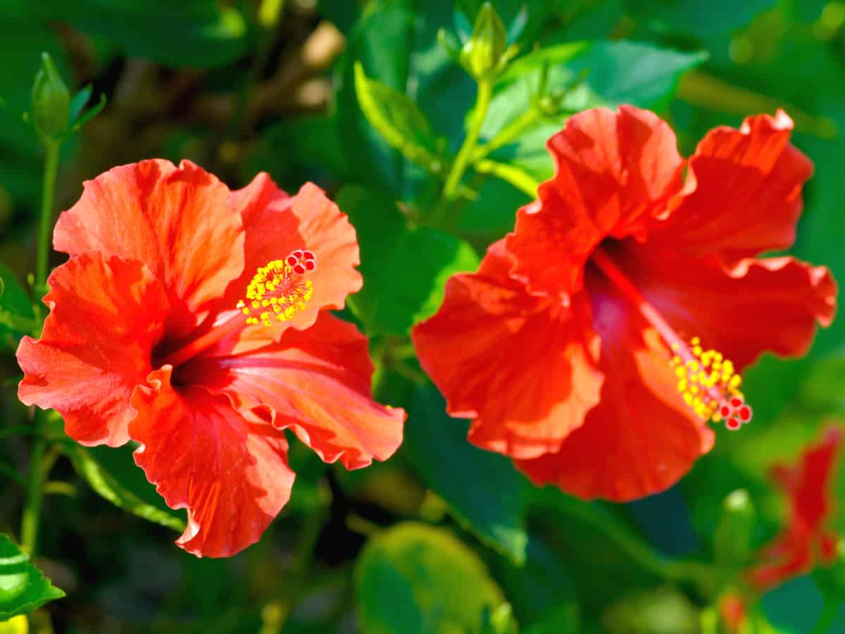 Chinese hibiscus loves the sun and is heat tolerant