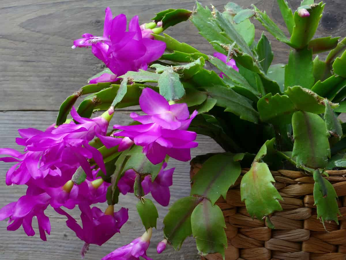 Christmas cactus is an indoor flowering plant that blooms in winter