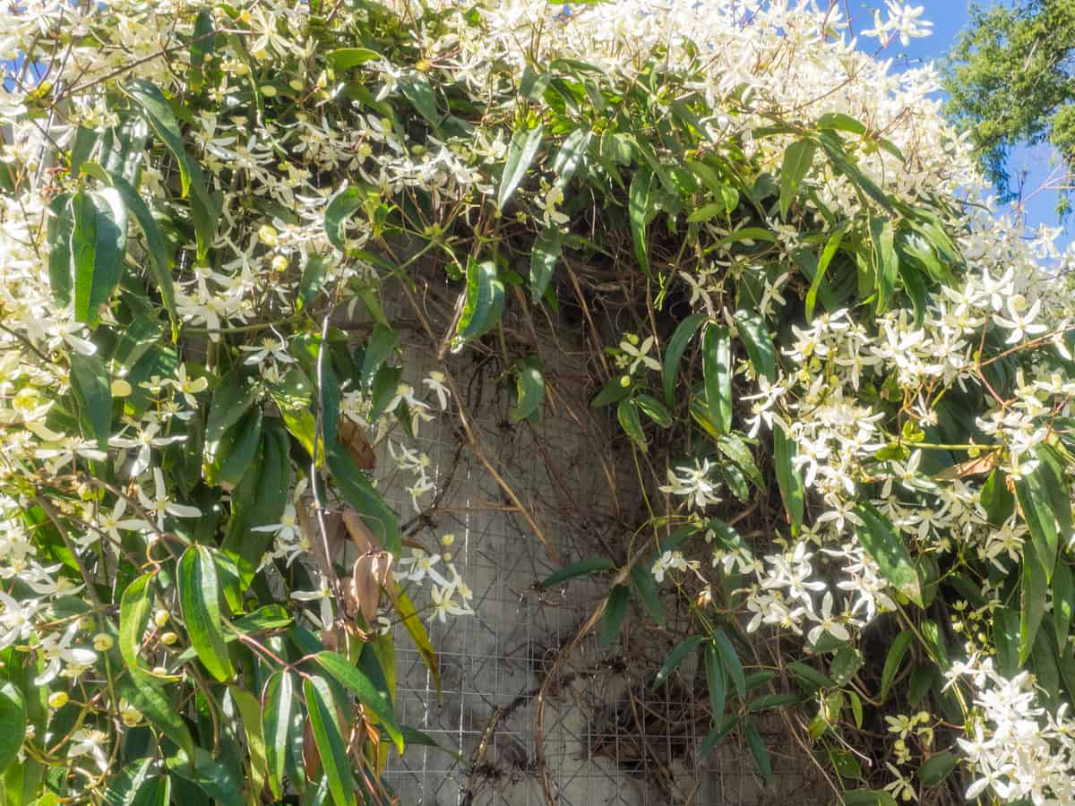 sweet autumn clematis is a climbing vine with a sweet aroma