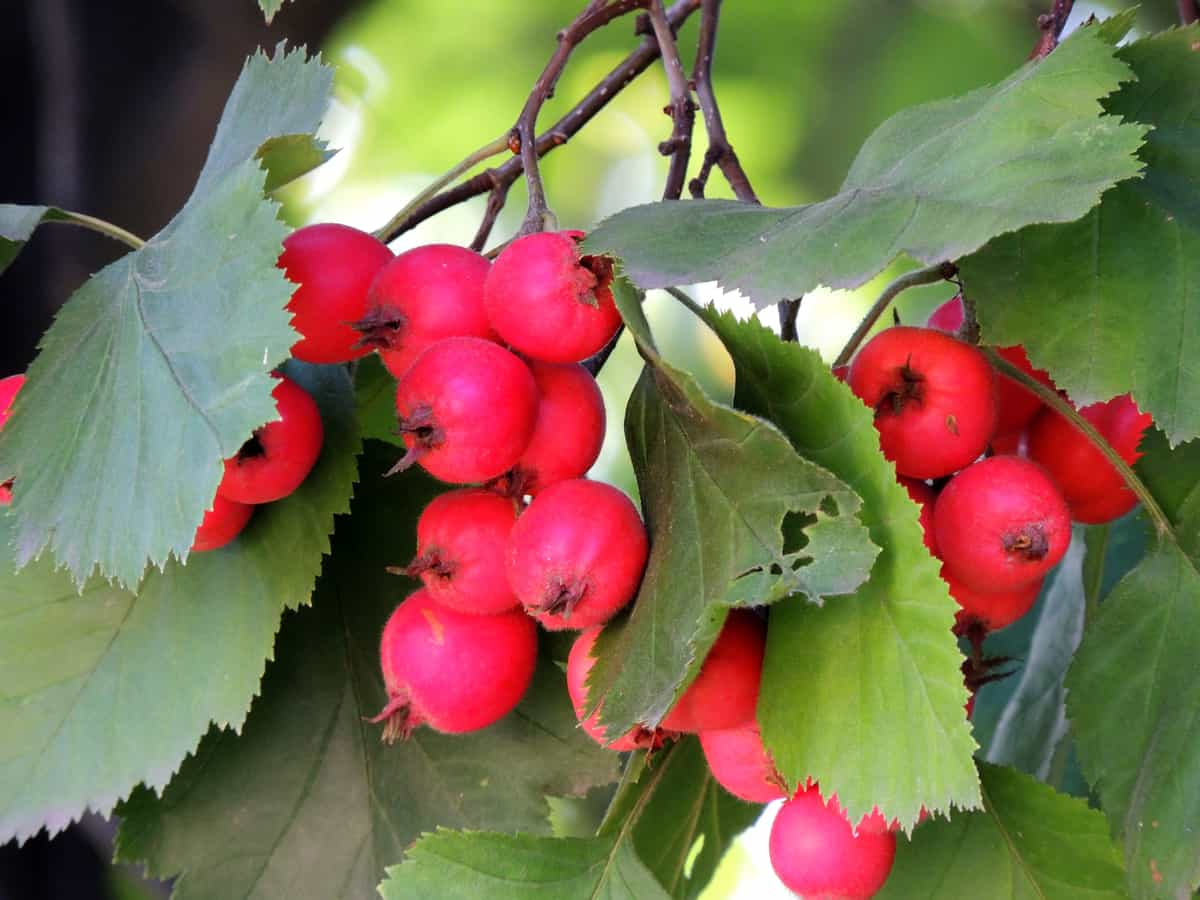 common hawthorn is an excellent hedge plant for home defense