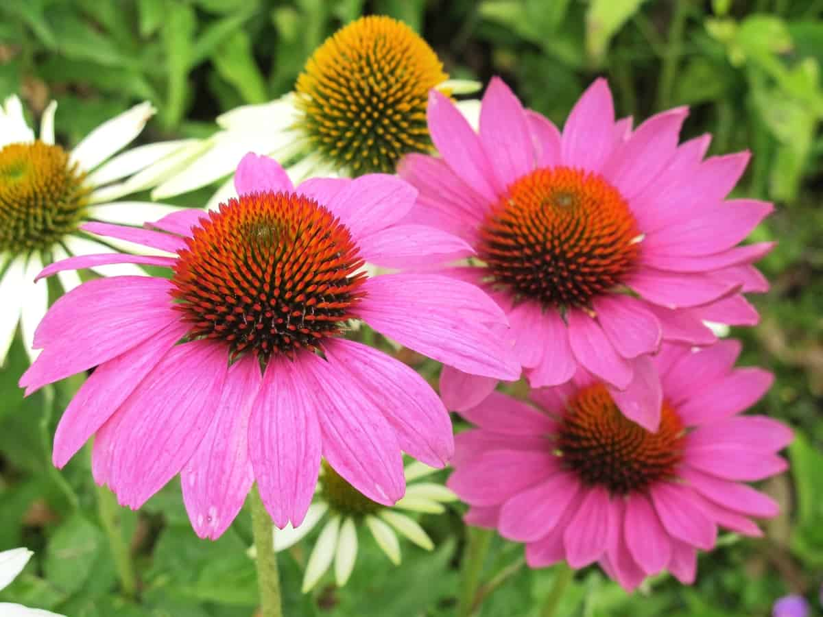 the coneflower loves the sun and attracts pollinators