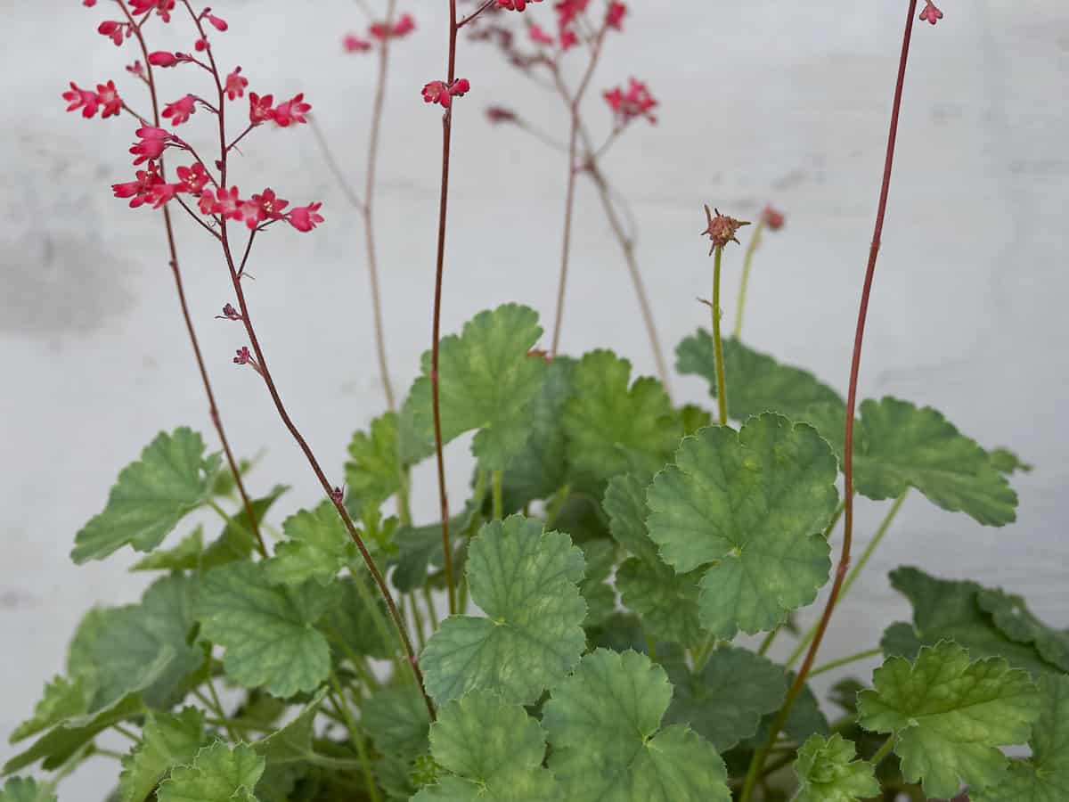 the leaves of coral bells are as pretty as the flowers