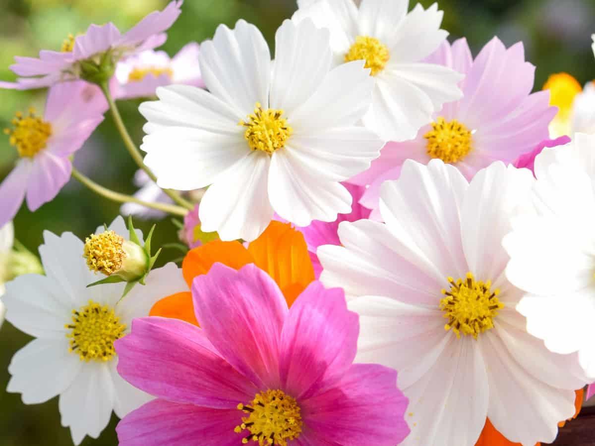 cosmos attracts pollinators