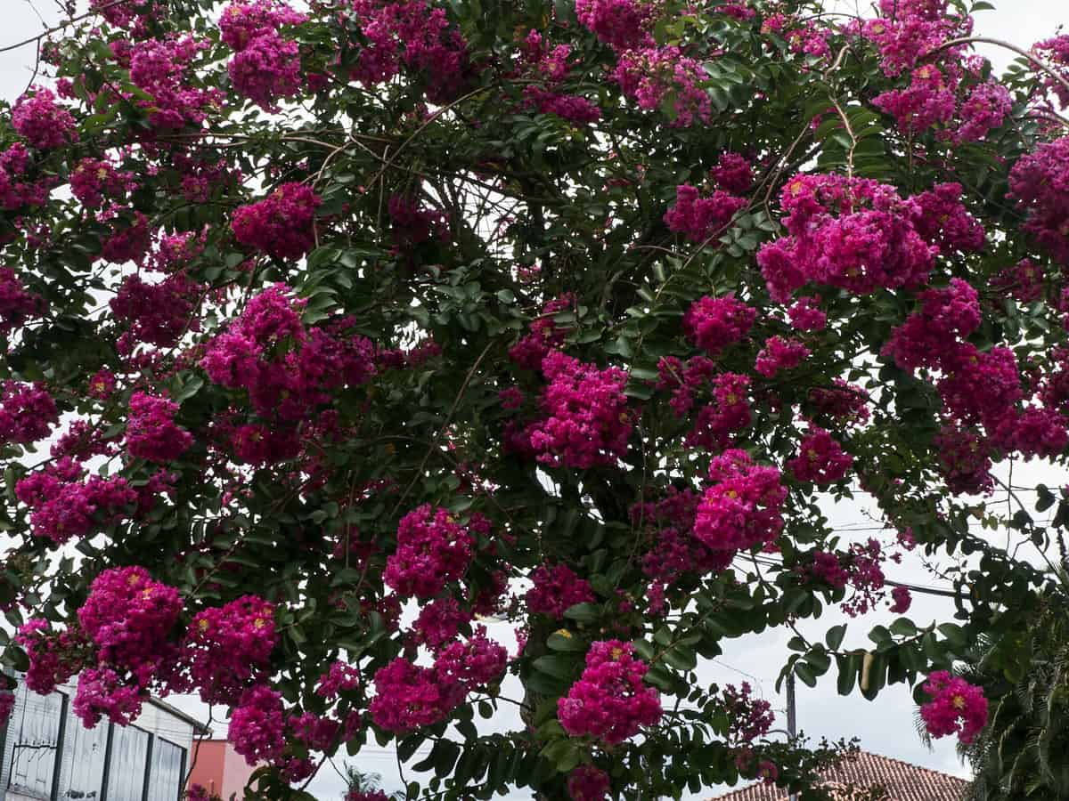 crape myrtle is a small but showy shrub