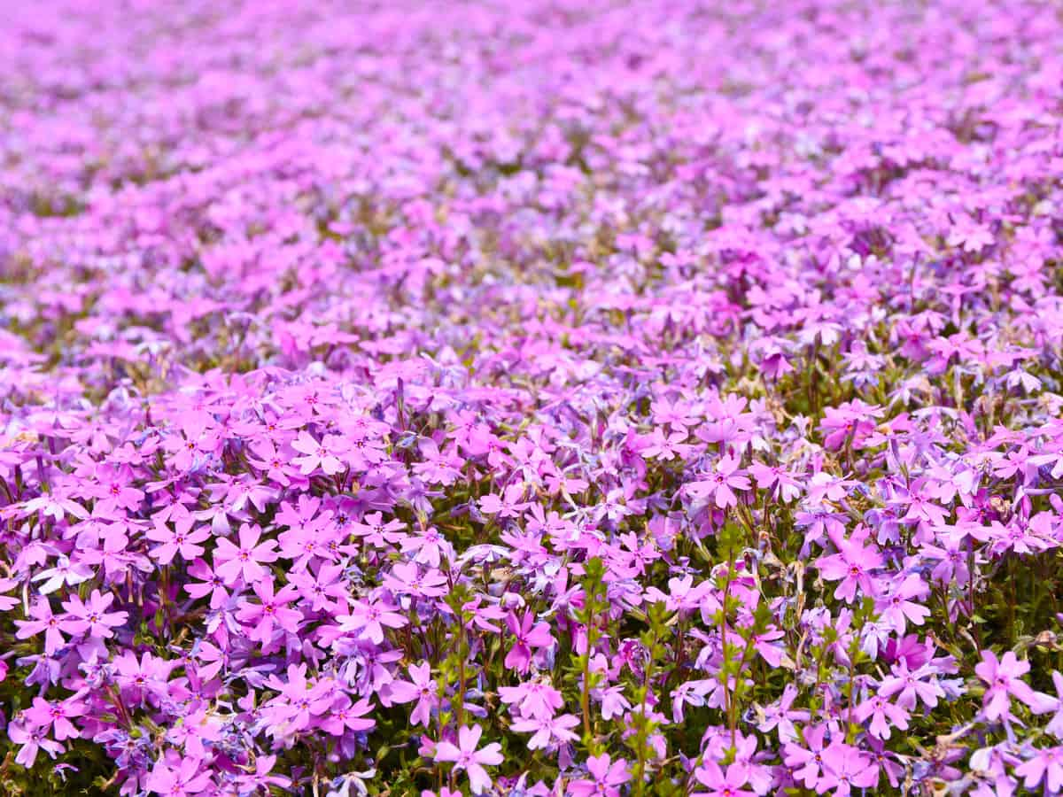 creeping phlox will add style and color to your garden