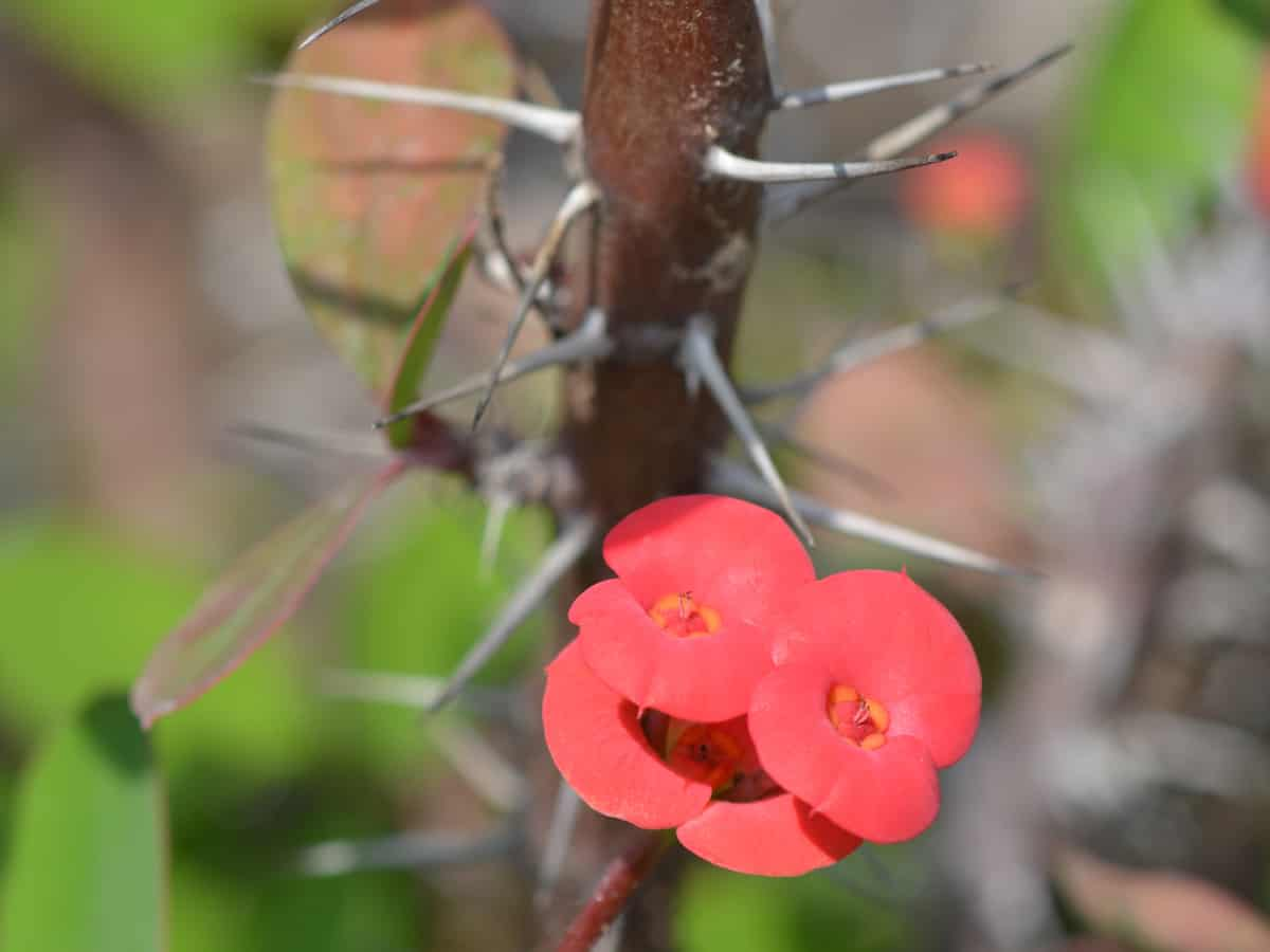 crown of thorns has beautiful flowers but a dangerous stem