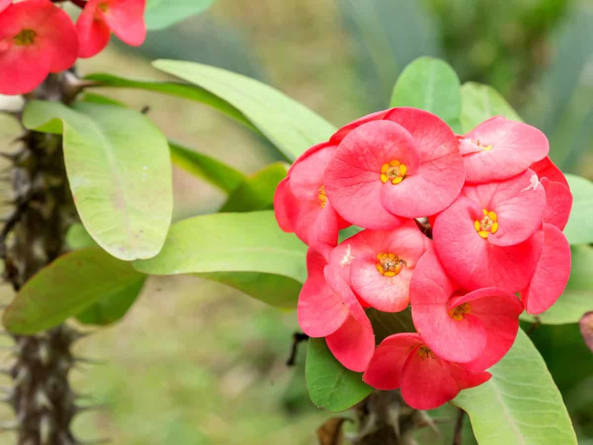 crown-of-thorns has sharp thorns and is toxic